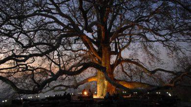 صورة شجرة انكايا العملاقة في ولاية بورصة التركية